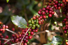 Coffee beans on plant Stock Images