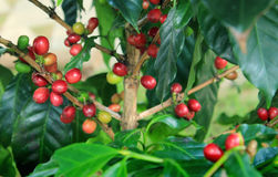 Coffee beans on plant Royalty Free Stock Image