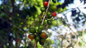 Coffee beans on plant. Coffee beans ready for harvest, fruits are still on the plant Royalty Free Stock Photos