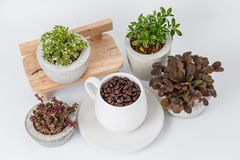 Coffee beans and plants in flower pots stock photo