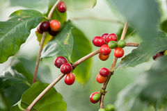 Coffee Beans, Raw Stock Images