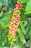 Coffee beans. Raw coffee beans to coffee plant, red and green berries Stock Photography