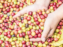 Coffee beans. Red and green and yellow coffee beans  in boy hands on coffee beans background Royalty Free Stock Photo