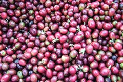 Coffee beans. Ripe red coffee beans are harvested and processed coffee is waiting for the next shell Stock Image