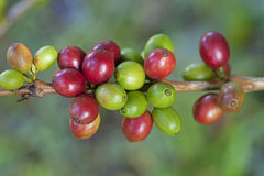 Coffee beans ripenin Stock Photos