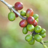 Coffee beans ripenin Royalty Free Stock Image