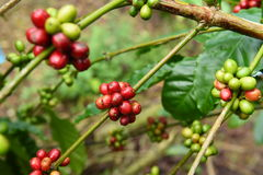 Free Coffee Beans Ripening Stock Images - 84033464