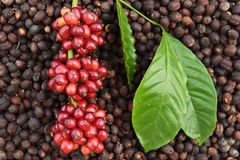 Coffee beans ripening on dried berries coffee beans Royalty Free Stock Images