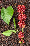 Coffee beans ripening on dried berries coffee beans Stock Images