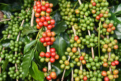 Free Coffee Beans Ripening On A Tree Royalty Free Stock Images - 62823659