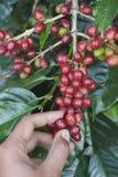 Coffee beans ripening stock photos
