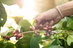 Coffee beans ripening royalty free stock image