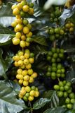 Coffee beans ripening royalty free stock photography