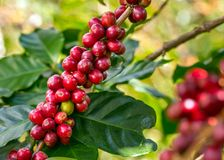 Coffee beans ripening Stock Photography
