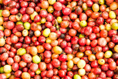 Coffee beans ripening on tree. Stock Images