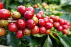 Coffee beans ripening on a tree Stock Image