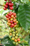 Coffee beans ripening on a tree Stock Photos