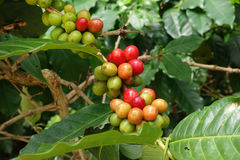 Coffee beans ripening on a tree Royalty Free Stock Image