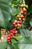 Coffee beans ripening on a tree Royalty Free Stock Photography