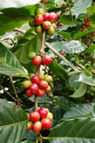 Coffee beans ripening on a tree Royalty Free Stock Photos
