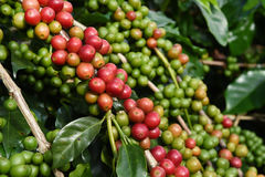 Coffee beans ripening on a tree Royalty Free Stock Photo