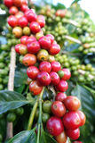 Coffee beans ripening on a tree Royalty Free Stock Images