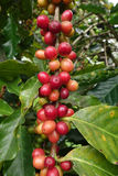 Coffee beans ripening on a tree Stock Images