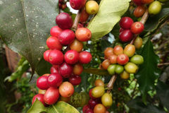 Coffee beans ripening on a tree Stock Photography