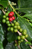 Coffee beans ripening Royalty Free Stock Photos