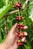 Coffee beans ripening Stock Photo