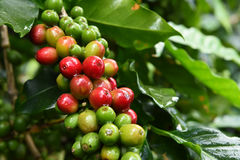 Coffee beans ripening. On a tree royalty free stock image