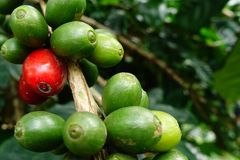 Coffee beans ripening. On a tree royalty free stock images