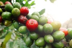 Coffee beans ripening. On a tree royalty free stock photo
