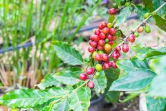 Coffee beans ripening on tree. In North of thailand Royalty Free Stock Photos
