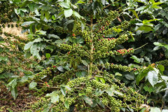 Coffee beans ripening on tree at Doi Chang in the north of Thail Stock Photo