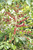 Coffee beans ripening on tree at Doi Chang in the north of Thail Stock Photography