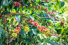 Coffee beans ripening on tree Stock Image