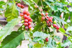 Coffee beans ripening on tree. In North of thailand Royalty Free Stock Photo