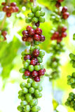 Coffee beans ripening on tree Stock Photography