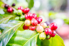 Coffee beans. Ripening on tree in North of thailand Stock Photo