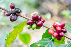 Coffee beans. Ripening on tree in North of thailand Royalty Free Stock Images