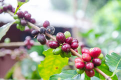 Coffee beans. Ripening on tree in North of thailand Royalty Free Stock Image