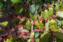Coffee beans ripening on tree Royalty Free Stock Images
