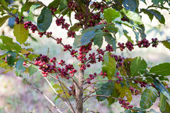 Coffee beans ripening on tree Royalty Free Stock Photos
