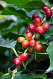 Coffee beans ripening on tree in North of thailand Stock Photography