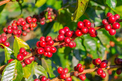 Coffee beans ripening Stock Images
