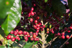 Coffee beans ripening on tree in North of thailand. Royalty Free Stock Image