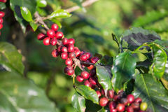 Coffee beans ripening on tree in North of thailand. Stock Images