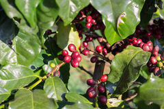 Coffee beans ripening on tree in North of thailand. Royalty Free Stock Photography