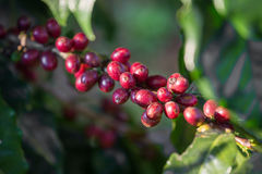Coffee beans ripening on tree in North of thailand. Royalty Free Stock Photo